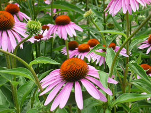 C3 Purple Cone Flower