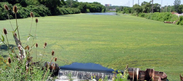 Algae bloom at Desjardins Canal