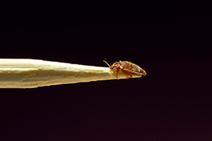 Bed bug on a pencil