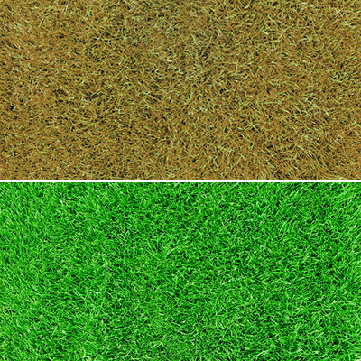 Side by side comparison of green and dormant grass