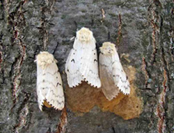 Close up of 3 Gypsy Moths