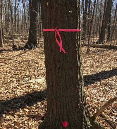 Tree marked for the Gyspy Moth Aerial Spray Program