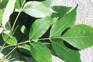 Image of Ash tree with opposite leaves