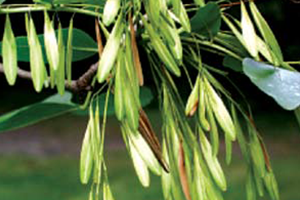 Image of Ash tree with hanging seeds