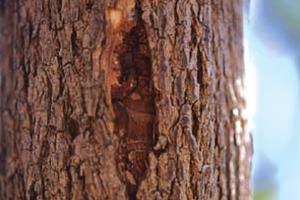 Image of Ash tree with Ashe Borer symptoms of cracked bark