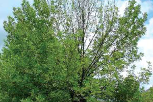 Image of Ash tree with Ashe Borer symptoms of crown dieback