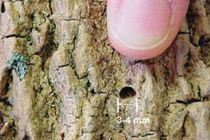 Image of Ash tree with Ashe Borer symptoms of borer exit holes
