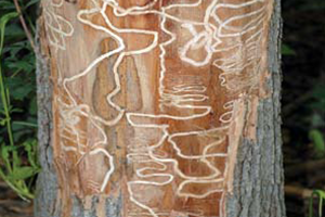 Image of Ash tree with Ashe Borer symptoms of tunneling