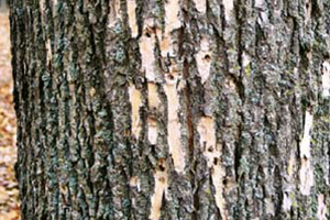 Image of Ash tree with Ashe Borer symptoms of woodpeckers
