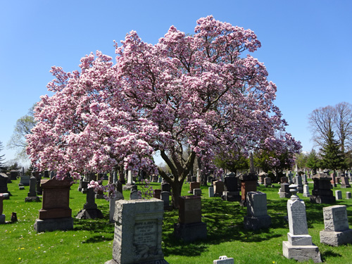 Cemetery stones with lilac tree