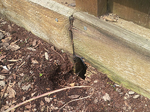 Rat burrow under wooden structure